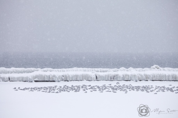 Seagulls beside frozen breakwater on Lake Ontario, Toronto